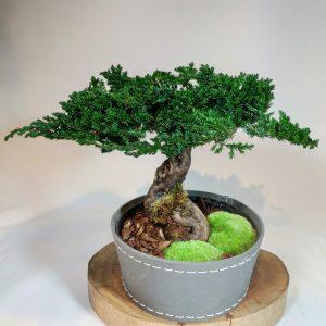 Bonsai Juniperus 2, vegetaltrend