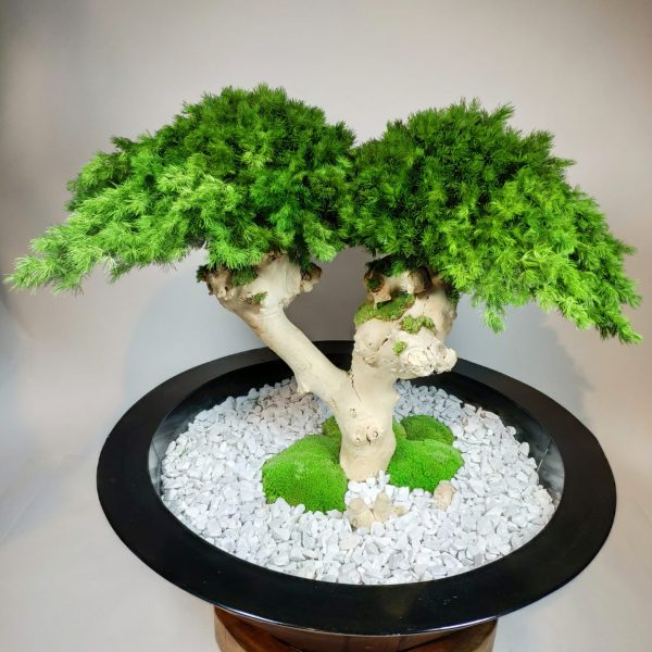Bonsai Ming 3, vegetaltrend