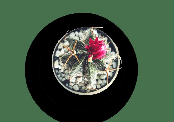 pot fleur cactus
