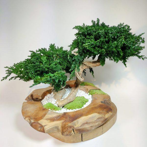 Bonsai Juniperus vegetaltrend