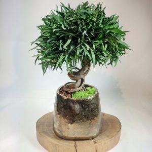 Bonsai nicoly, vegetaltrend