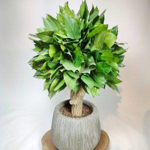 Plante en pot topiere salal
